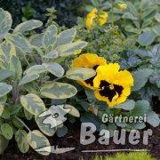 salbei viola gelb