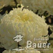 Chrysantheme weiß